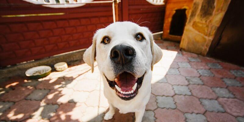 You are currently viewing Chien fugueur, que faire ? Solutions pour empêcher votre chien de fuguer